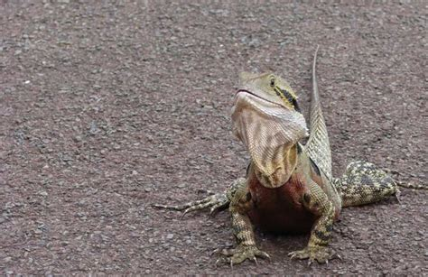 Shedding Bearded Dragons Problems by Types Of Bearded Dragon Illnesses And Health Issues