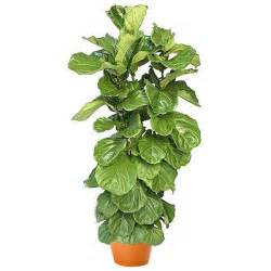 flowers for birthday ficus lyrata bush plant and flower delivery manhattan