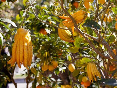 cuisine plantes sauvages comestibles fiche de culture le cédratier de bouddha