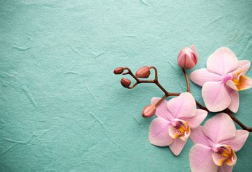 pink orchid   background wallpaper  spa saloon