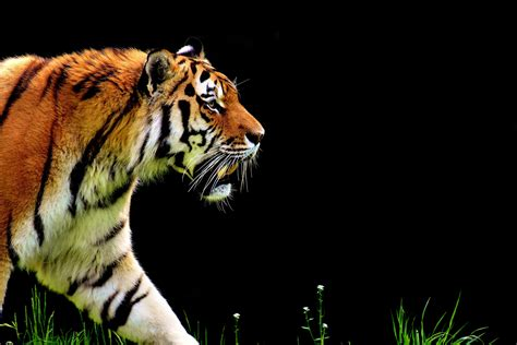 Tiger Animal Wallpaper - wallpaper tiger 4k animals 15041