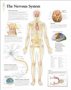 Medical Chart Female Spine Charts And Female Nervous