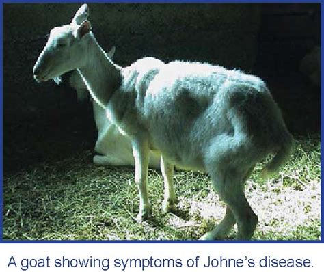 johnes disease american dairy goat association adga