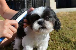 How To Groom A Shih Tzu
