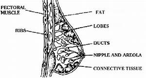 The Anatomical Structure Of The Female Breast The Shape And Appearance