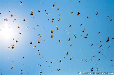 bat migration burrard lucas photography