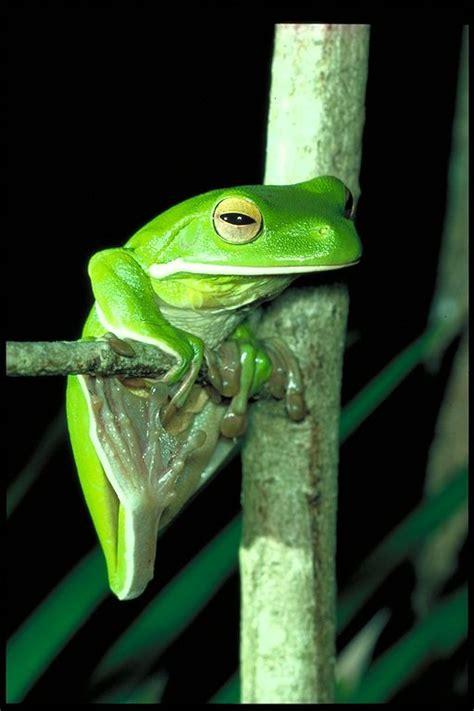 wet tropics frogs wet tropics management authority