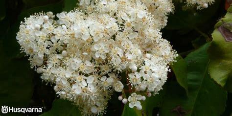 Decora Tu Jardín Con Photinia, El Arbusto Que Puede Formar