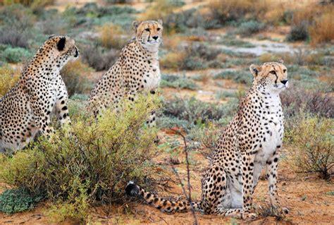 cheetah cat 1000 images about cheetahs on baby cheetahs