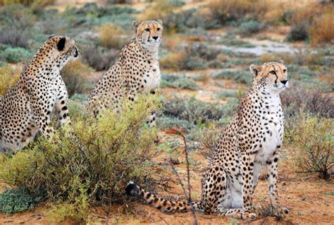 African Big Cats Endangered