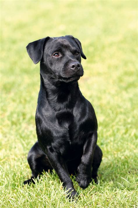 patterdale terrier pictures posters news