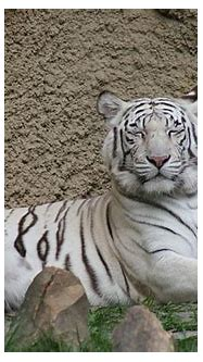 White Tiger Sleeping Photograph by Eric Irion