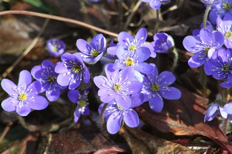 dabistiski interesantumi: Zilās vizbulītes.