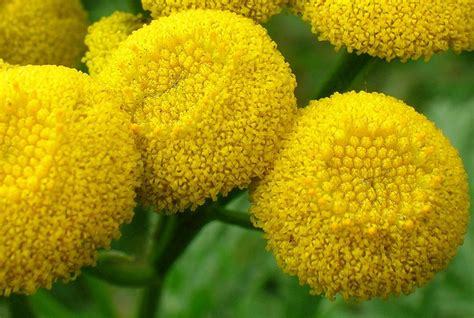 Tansy Plant Uses and Warnings - History and Folklore