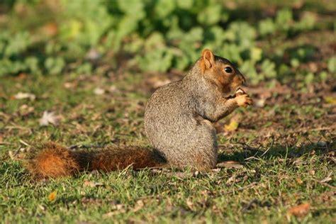 Eastern Fox Squirrel (Sciurus niger) Idaho Fish and Game