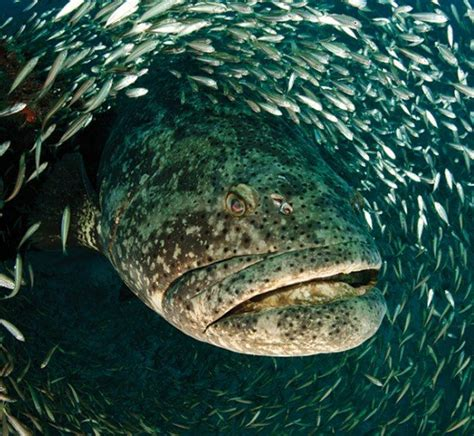 goliath grouper jonah swallowed sea fish mouth monsters creatures under underwater almost looking river animal wade jeremy ocean fishing water