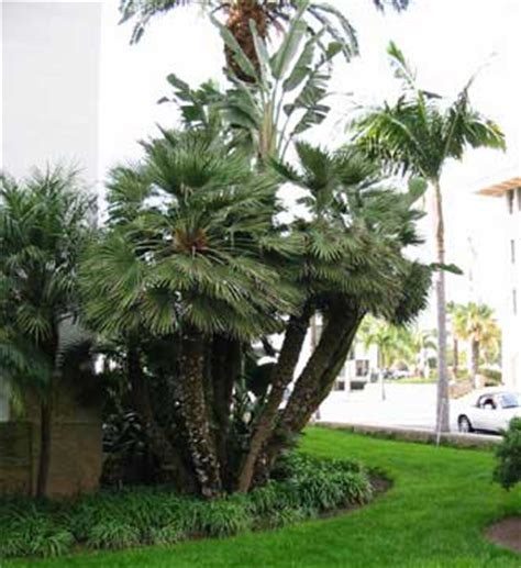 mediterranean trees pictures mediterranean fan palm trees pictures