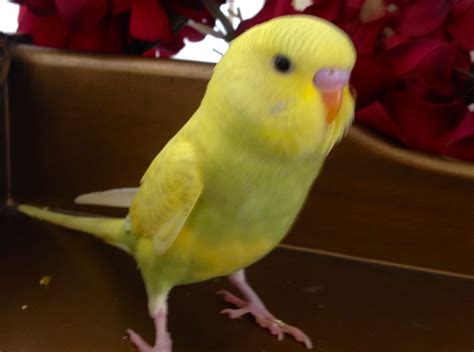 Hand Tamed Beautiful Baby Budgies For Sale