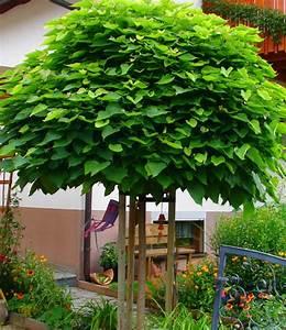 Kugel Trompetenbaum Schneiden : kugeltrompetenbaum 12 14 hochstamm exotik im garten ebay ~ Lizthompson.info Haus und Dekorationen