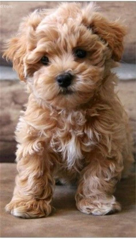 17 Best Ideas About Fluffy Puppies On Pinterest Adorable
