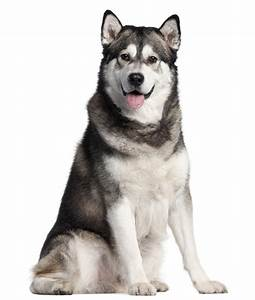 7 Things To Know Before Getting An Alaskan Malamute - Animalso