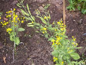 Identify Vegetable Plants with Flowers