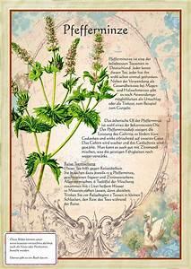 Pflanzen Gegen Spinnen : die besten 25 pfefferminze pflanzen ideen auf pinterest ~ Lizthompson.info Haus und Dekorationen