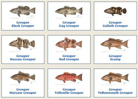 grouper june species offshore anglers  pompano beach