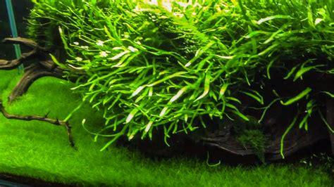 Aquatic Plant How To Make Aquatic Plant Fertilizer