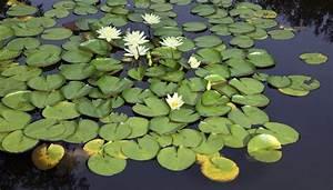 Water Lily Adaptations