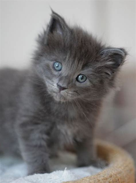 gray cat names grey kitten still in the blue eyed phase i really want a