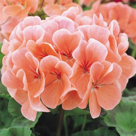 buy geranium  coral plants  parker dutch bulbs