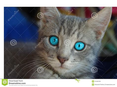 Blue-Eyed Kitten Royalty Free Stock Image - Image: 31648136