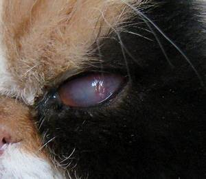 Cat Eye Infection - Corneal Ulcers Photo Gallery by Tencats at pbase.com  Ulcer Corneal ulcers and infections