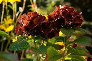 Hortensien Wann Schneiden : hortensie schneiden hortensien schneiden mein sch ner ~ Lizthompson.info Haus und Dekorationen