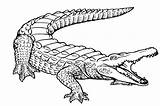 Alligator Coloring Pages Printable Alligators sketch template