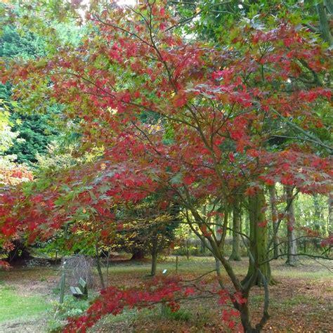 acer trees images acer grosseri hersii snake bark maple buy acer trees