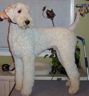 standard poodle grooming styles poodle forum