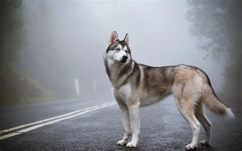 fantastic hd husky wallpapers