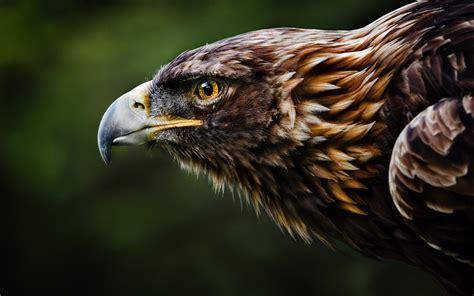 wallpaper eagle hd hd desktop wallpapers  hd