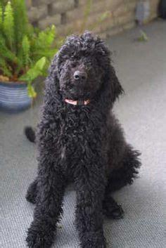 black goldendoodlepuppy dog tails  pinterest