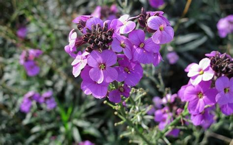 wallflower bees plants erysimum shrubs pollinators wildlife garden pollinating insects flower meaning spring them