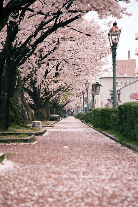 blossoms cherry blossom cherry blossom season