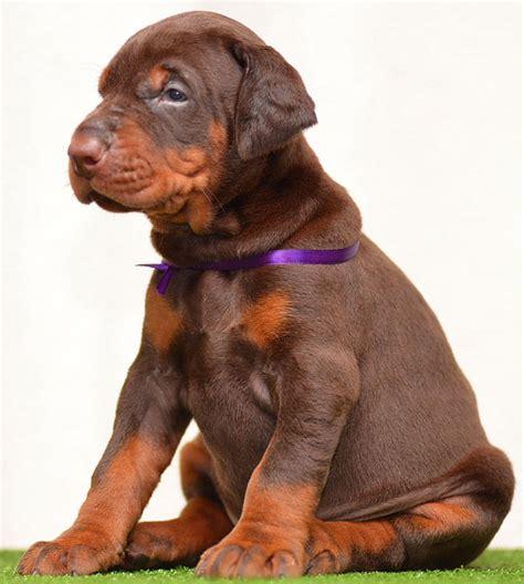 European Doberman Puppies for sale in USA - Euro Dobies