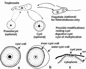 Life Cycle Of An Amoeba  Scheme  And Cyst Structure  A