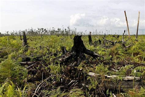 indonesia foreste abbattute  le palme da olio