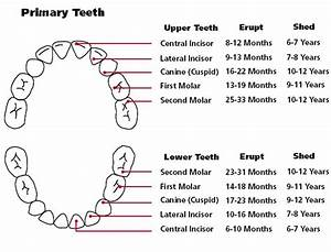 38 Printable Baby Teeth Charts  U0026 Timelines  U1405 Templatelab