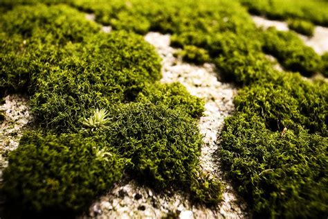 Images Of Moss Without Oxygen From Ancient Moss You Wouldn T Be Alive