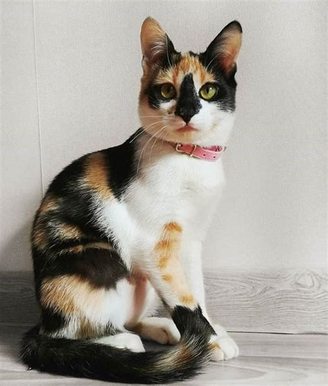 calico cat cats names female warrior always facts why kittens orange almost pretty purebred aesthetic thepaws colors funny three russian