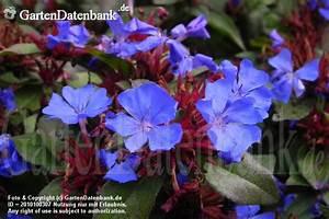 Bodendecker Blaue Blüten : bleiwurz bilder fotos ceratostigma plumbaginoides bild mit infos ~ Frokenaadalensverden.com Haus und Dekorationen